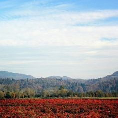 Fields of Red #landscapephotography