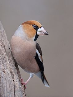 """""""Shy to the point of being self-effacing, hawfinch is a cracker. Large-headed and strong-billed, with a staring eye, a plumage of pastels offset by striking black and white patches, and – on the male – a ruffle adorning iridescent wings, the hawfinch has it all."""" 52 Wildlife Weekends www.bradtguides.com"""