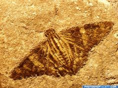 Moth Fossil