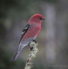 Pine Grosbeak - Male