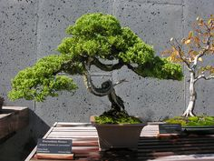 Juniper Bonsai | Procumbens Juniper Bonsai. Credit: LouisL #
