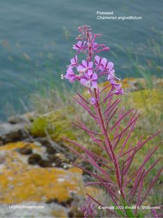 "Fireweed (Chamerion angustifolium, pictured) - Narrow-leafed Fireweed, Willow Herb, Blooming Sally. Two species – C. angustifolium & C. latifolium, latter is Dwarf Fireweed, much shorter, distributed mainly in west US. C. angustifolium grow to 10 ft. tall. Blossoms have 4 pink petals, 4 pretty sepals & a 4-lobed stigma. Seed capsules up to 3"" long, are pink as well, making it a very striking plant."