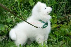 Pure white giant wooly Alaskan Malamute puppy