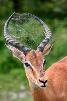 Spider web in antlers