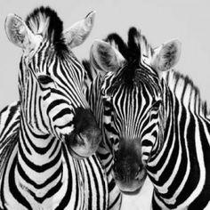 Posterazzi Namibia Zebras Canvas Art - Nina Papiorek (24 x 24)