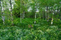 Fresh spring mood.  spring, green, fresh, birch, forest, stellaria, background, outdoor, season, estonia, sunlight, sun,