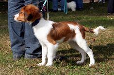 Kooikerhondje | friendly and affectionate dog with his family, the Kooikerhondje is ...