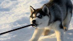 huskies de slăbire grăsimea sănătoasă pierde în greutate