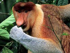* Macaco Narigudo:  Não precisa nem explicar por que esse primata faz parte da lista. O nariz longo e flexível parece sobrar no seu rosto, apesar disso o membro tem muita utilizade: os machos usam o nariz para emitir sons quando estão em época de acasalamento.