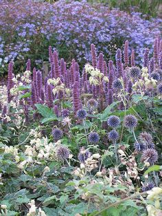 Echinops and agastache, landscaping, gardening, perennial, purple flowers, shape and texture