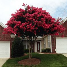 Dynamite Crape Myrtle - Lagerstroemia Indica for Sale - Brighter Blooms Nursery