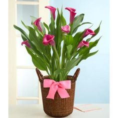 Absolutely Beautiful Potted Pink Calla Lilly