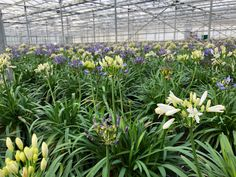 The kick of our garden season starts next week. The Agapanthus white and blue in the 17 cm pot are available. Our sales team will fully inform you about the possibilities! Agapanthus, Seasons, Rose, Garden, Pink, Garten, Seasons Of The Year, Lawn And Garden, Gardens