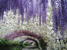 O túnel de Glicínias no jardim de Kawachi Fuji no Japão 20