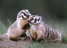 american badger | Exotic Mammals: The American Badger