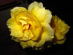 Red Tip White With Yellow Rose | Roses Red