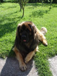 Leonberger - I so want this dog!!!!