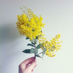 The History Of The Acacia Flower | Prestige Flowers Blog