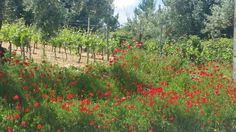 Vineyards and poppies in the #Anadia region.