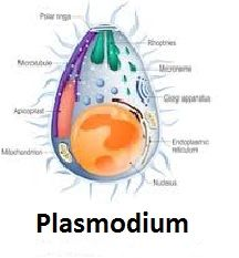 Plasmodium parasites were initially identified in the later 19th century Camping Appetizers, Easy Dinner Recipes, Easy Meals, Super Video, Netflix Gift, My Little Pony Birthday Party, Get Gift Cards, Dog Food Brands, Private Parts