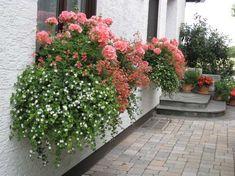 rosa geranien pelargonie standort lichtverh ltnisse auf dem balkon balkon rose pinterest. Black Bedroom Furniture Sets. Home Design Ideas
