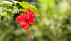 A closeup focused shot of a beautiful red-petaled Chinese hibiscus flower with green leaves Hibiscus Plant, Hibiscus Flowers, Lavender Flowers, Exotic Flowers, Tropical Flowers, Tropical Plants, Dried Flowers, Organic Fertilizer