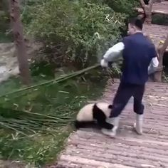 Panda wants attention - Funny Animals Cute Little Animals, Cute Funny Animals, Funny Cute, Cute Animal Videos, Funny Animal Pictures, Cute Panda, Cute Creatures, Animal Memes, Panda Bear