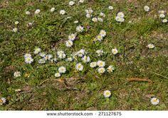 Little white Daisies