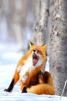 (via 500px / Yawning fox. by Igor Shpilenok)