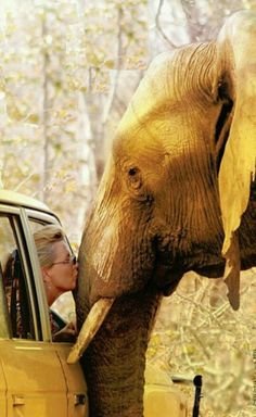 Drive-by elephant kiss. Sharon Pincott - dedicated to her Conservation work with The Presidential Elephants of Zimbabwe via Africa Geographic Photo Elephant, Elephant Love, Elephant Bath, Elephants Never Forget, Save The Elephants, Beautiful Creatures, Animals Beautiful, Animals Amazing, Animals And Pets