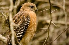 Red-shouldered Hawk I chose you to return as an animal spirit - soar high above, keeping an eye on all I love and swift dive to rescue or remove as necessary
