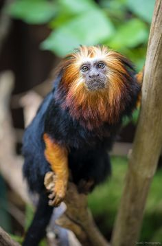 "Title: ""Golden headed Lion Tamarin"" [Yes, he does have fur like a lion's mane. ;) Mo]"