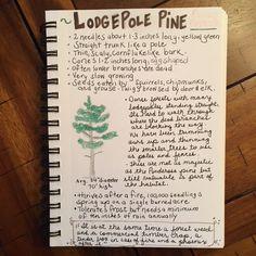 Lodgepole pine nature journal Winter Sky, Winter Trees, Journal Pages, Journals, Tree Study, Study Board, Tree Silhouette, Nature Study, Nature Journal