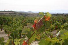 Viñedos de La Rioja Alavesa. Cerca de Labastida. Otoño