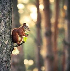Red squirrel eating a leaf from a tree. Nature Animals, Animals And Pets, Cute Animals, Squirrel Pictures, Animal Pictures, Animals Photos, Beautiful Creatures, Animals Beautiful, Cute Squirrel