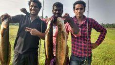 Kerala fishing Admins big catches. snakehead in Thrissur പുള്ളിവാക.