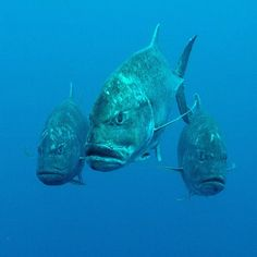 Check out the expressions on these badass giant trevally. Photograped while out on patrol and doing drive by shootings in the #galapagos. Reminds me of Kanye West @gayfishkanye #galapagosdiving #canon #underwaterphotography #ocean #naturephotography #cliffbangerphotography #ecuador #ecuadordiving #ecuadortourism #nature #nationalgeographic #scubadiverslife #scubadiving #gt #gianttrevally #predator #darwinsarch