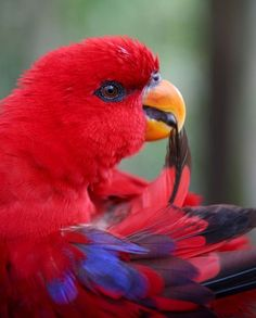 Red Lory.  I have one, her name is Lucy.  She is Around 23 years old!