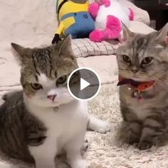 Click the Photo For More Adorable and Cute Cat Videos and Photos . Are these the most beautiful cats in the world? funny cats and dogs compilation. funny animals compilation try not to laugh. funny animals 2019 try not to laugh. I think the victim is drun Cute Cat Gif, Cute Funny Animals, Cute Baby Animals, Animals And Pets, Funny Cats, Cute Cats And Kittens, I Love Cats, Crazy Cats, Kittens Cutest