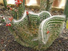 Cleistocactus jujuensis crostata monstruoso