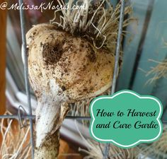 We haven't bought garlic from the store in over 4 years! Learn how to harvest an cure garlic and never spend money on it again.