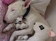 Bull Terrier.....i want one!