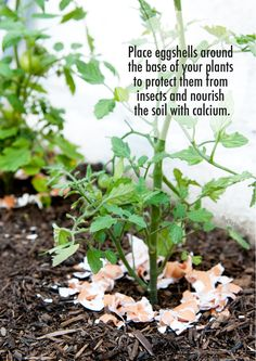 Eggshells in Your Garden ~ Next time you cook with eggs save the shells. You can crush them and use them to nourish and protect your plants. The calcium helps tomato plants grow and the shells keep bugs and slugs off of plants.