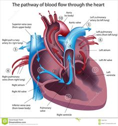 Circulatory system organs and their functions heart diagram heart hrid roga means cardiac disorders in ayurveda ayurveda explains in detail regarding how ayurveda is afflicted with vitiated vata pitta and kapha and the ccuart Choice Image