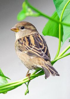Sparrows are weaver finch birds. There are several species of sparrow, some of which are associated with living nearby settlements of people, such as cities, suburbs, and farms. Pretty Birds, Love Birds, Beautiful Birds, Animals Beautiful, Small Birds, Little Birds, Colorful Birds, House Sparrow, Sparrow Bird