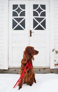 Irish setter--dogs i'll have