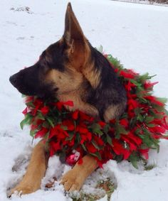 Bring in the bells and holly I owe this puppy a kiss