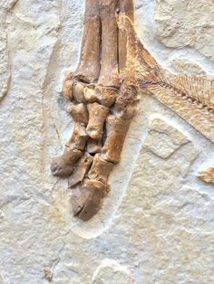"New Fossil Discovery - ""Olive"" A Primitive Horse Ancestor From The Green River Formation - FossilEra.com"