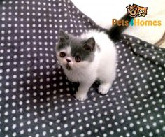 Persian exotic kitten | ALYSSA??!