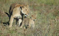 Was haben die beiden da wohl erblickt? Es scheint sie jedenfalls brennend zu interessieren. Klein und Groß auf der Lauer ... Safari, Panther, Images, Animals, Lion Cub, Searching, Cape Town, Not Interested, Round Trip